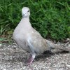 Gredzenūbele / Eurasian Collared Dove (Streptopelia decaocto)